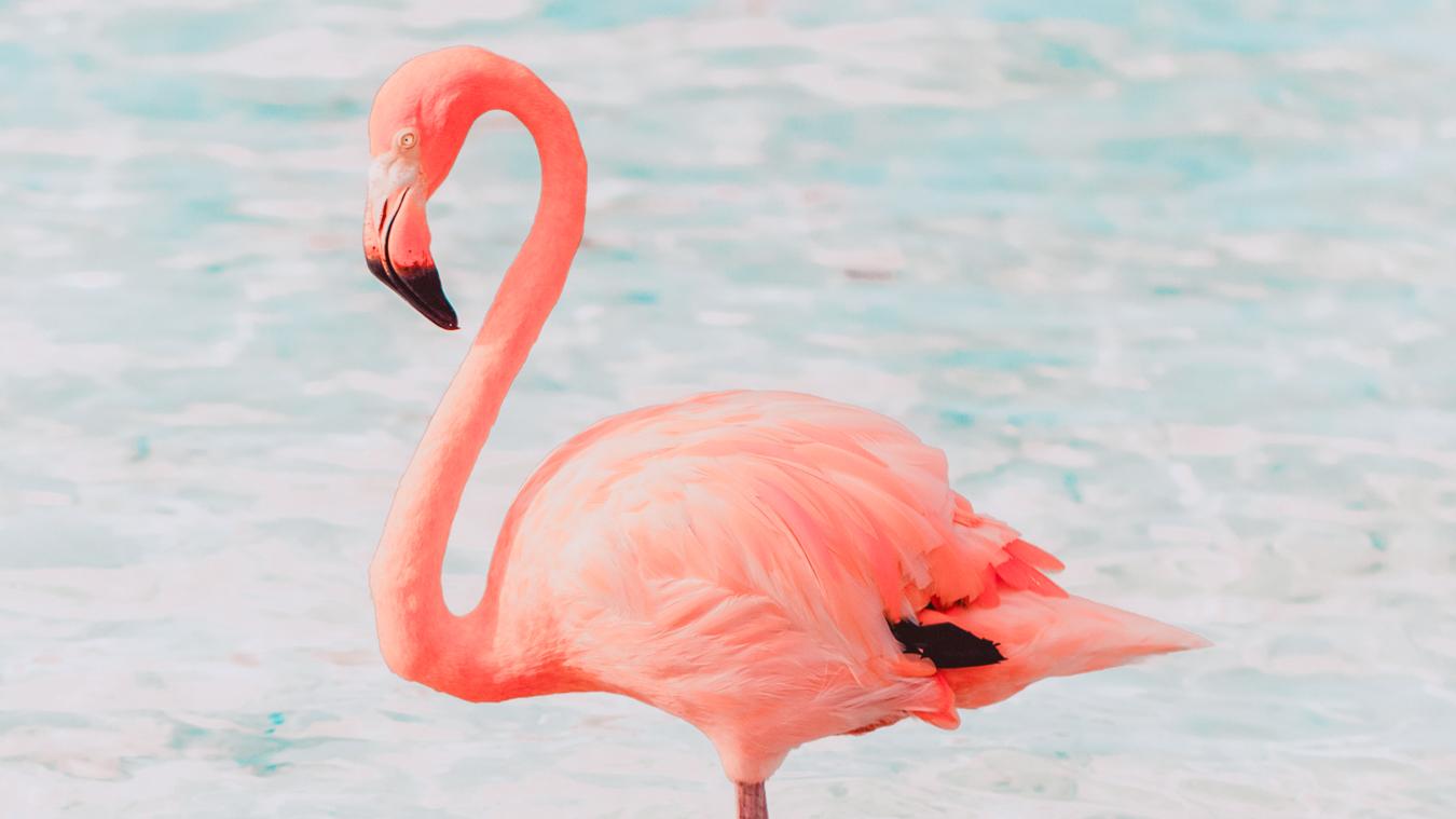 Flamingo at Flamingo Beach in Aruba