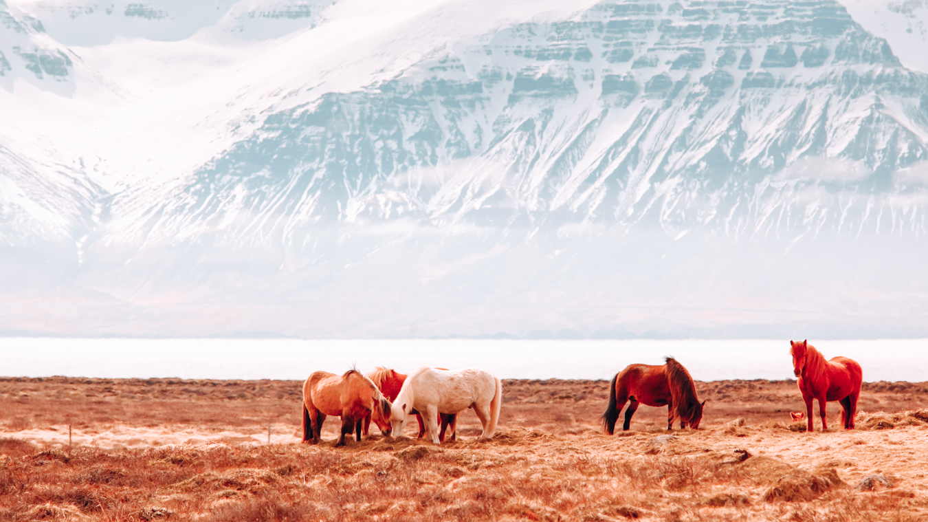 Landscape and horses in Iceland
