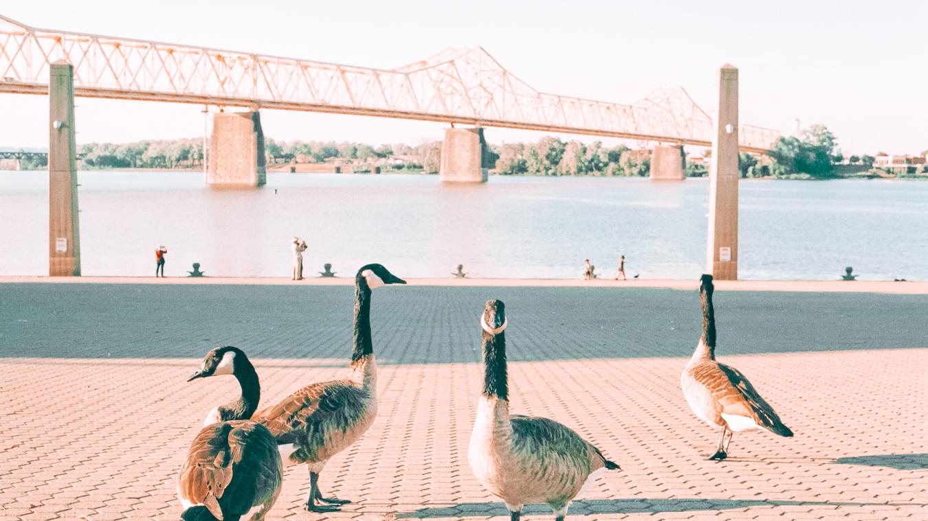 Big Four Bridge and geese