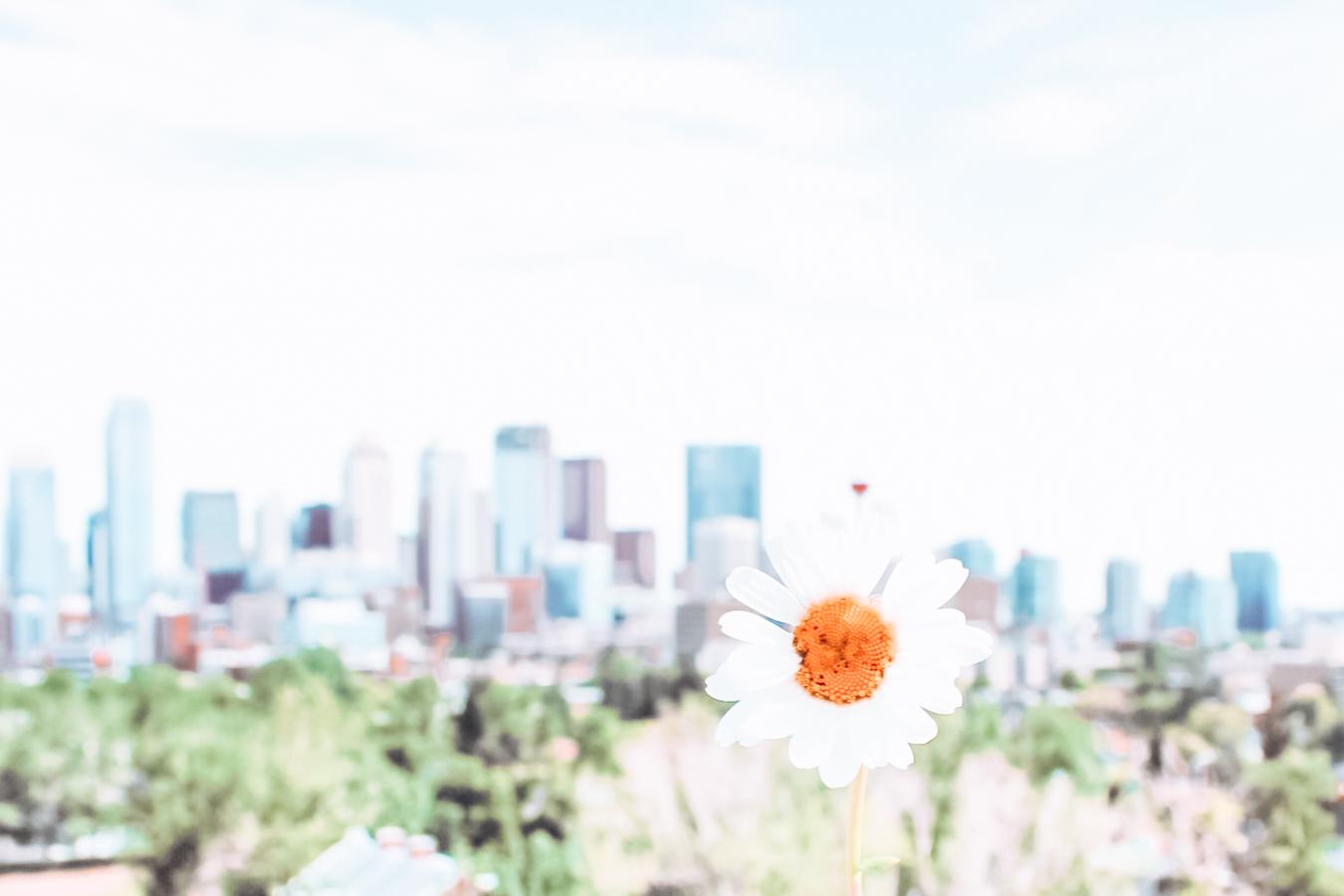 Flower and buildings in Calgary