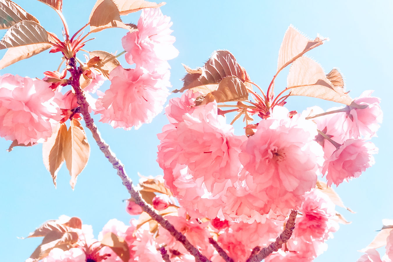 Pink flowers and a blue sky in Albuquerque
