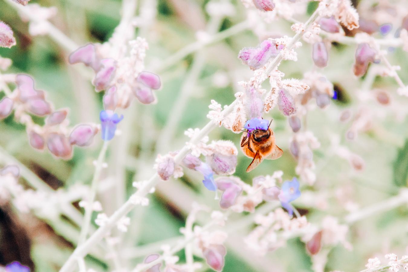 Bee at the Minnesota Landscape Arboretum