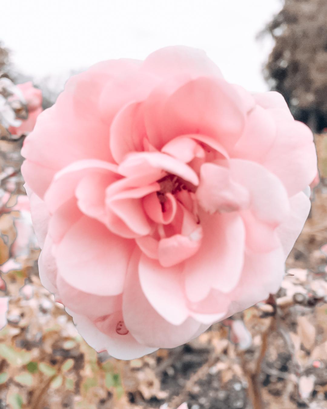 Rose a the Municipal Rose Gardej