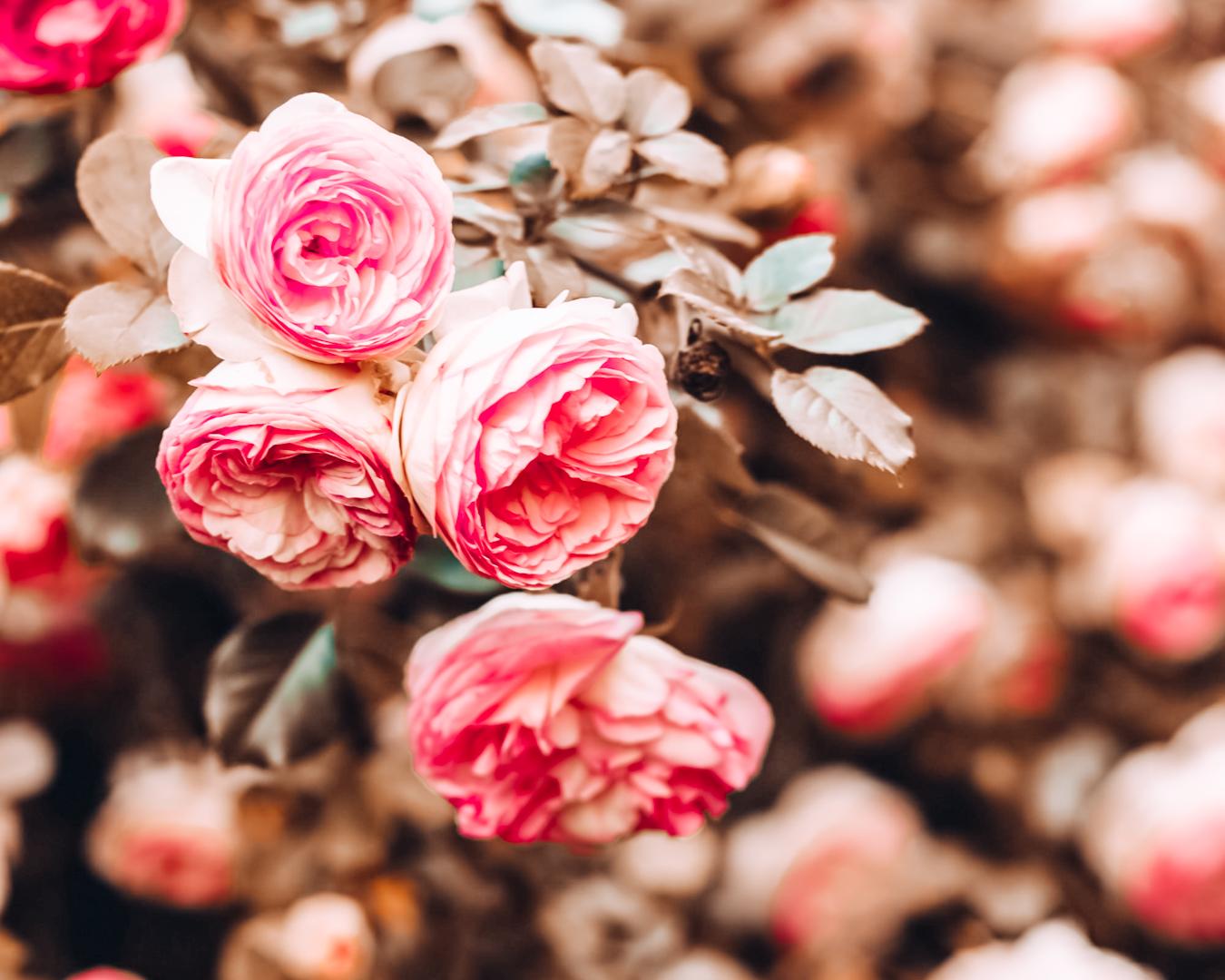 Pink roses in Municipal Rose Garden in San Jose