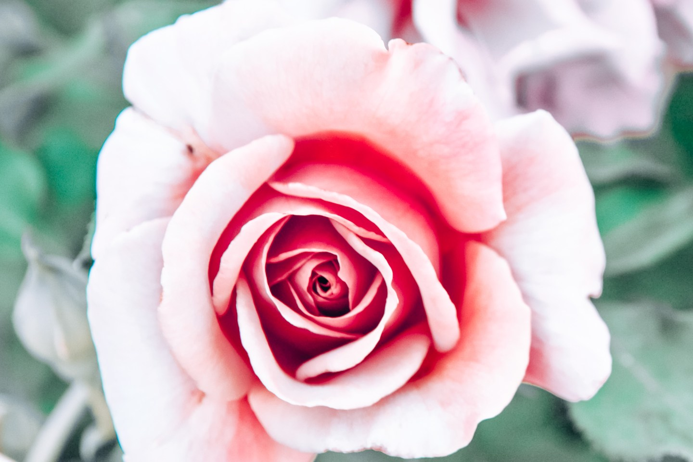 Pink rose in Municipal Rose Garden