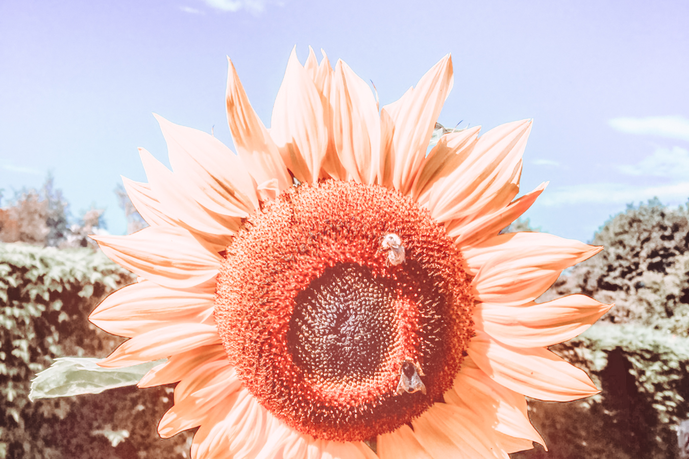 Sunflower at Royal Botanic Garden Edinburgh