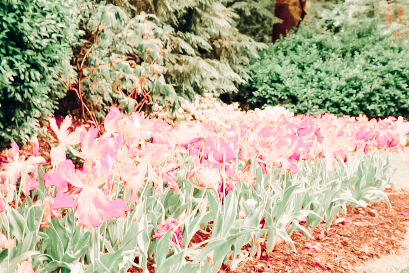 Pink flowers at the Sherwood Gardens