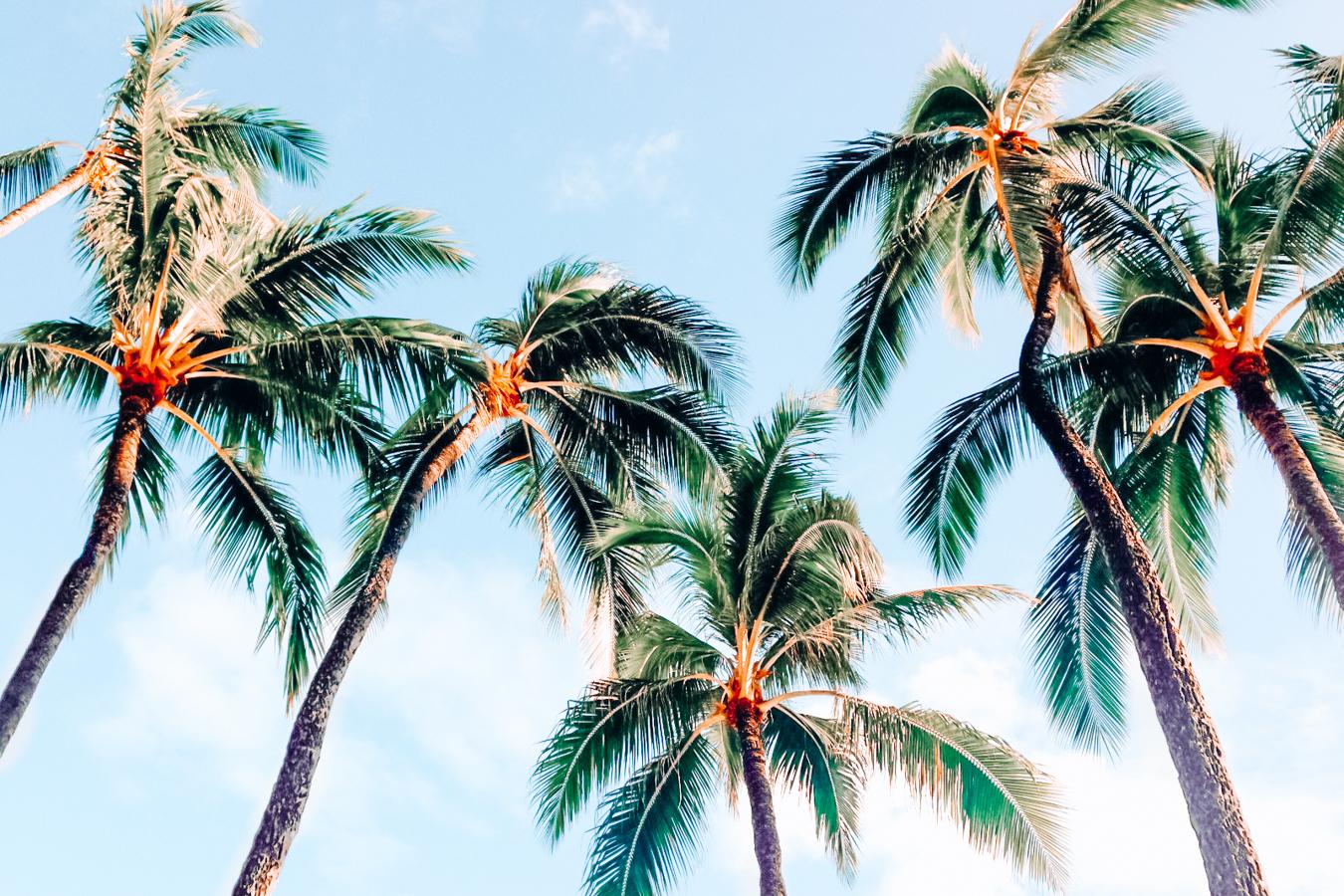 Palm trees in Oahu