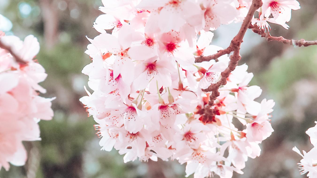 Pink flowers at the Christchurch Botanic Gardens