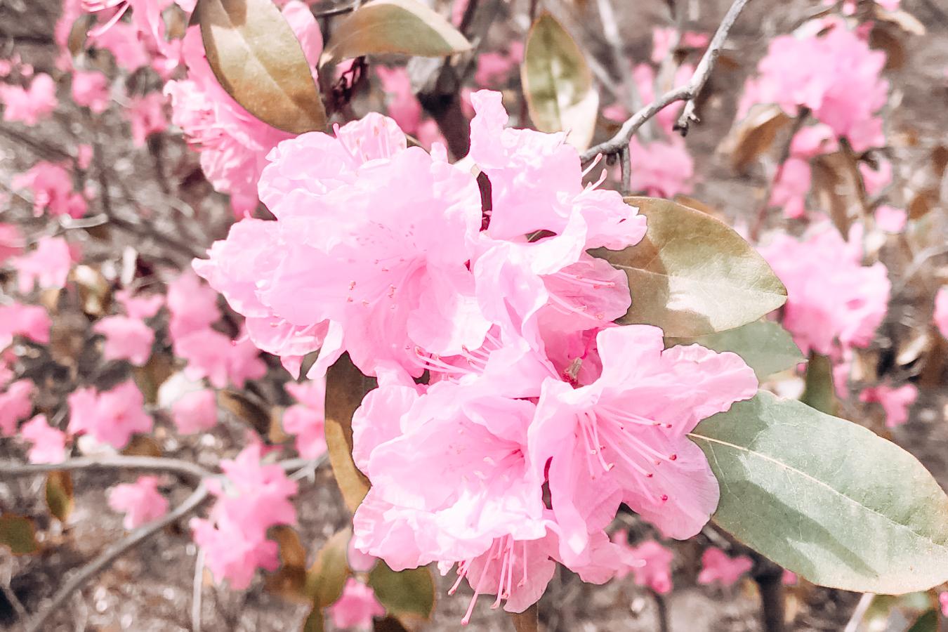 Pink flower at the Lewis Ginter Botanical Garden