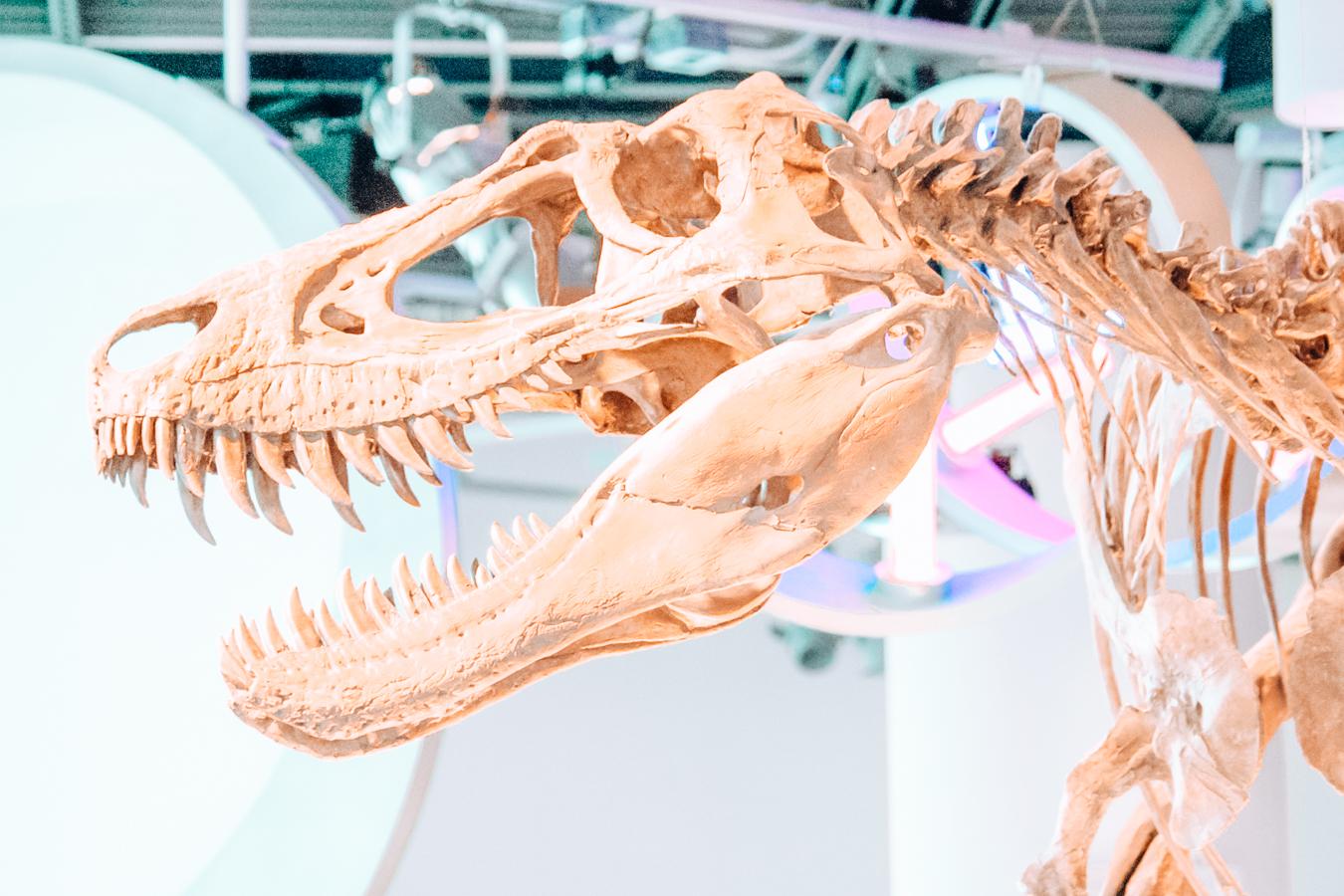 Dinosaur skeleton at the North Carolina Museum of Natural Sciences