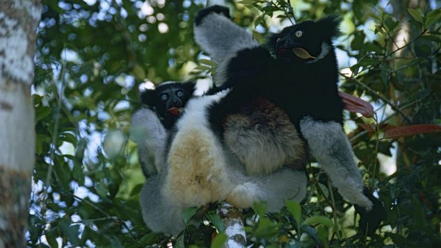 The indri is a type of lemur, native to Madagascar.