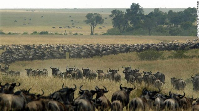 """""""The Migration"""" in action: thousands of wildebeest wind through the Masai Mara in search of fresh grass and water."""
