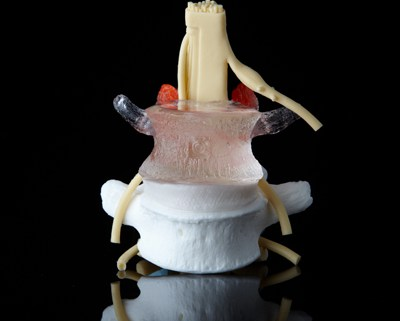 medical anatomy models, spine, chiropractic
