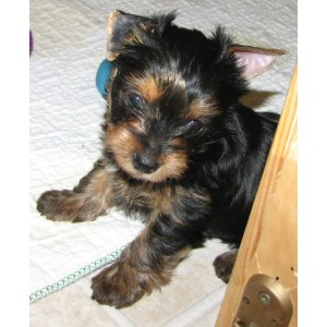 High Teacup Yorkie Puppy 022 Sale D 1 Teacup Yorkie Puppies Oklahoma