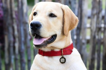 labrador retriever with red pet collar and steel tag