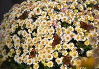 Метелики полюбляють живі квіти, а ми?