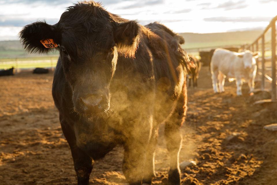symons beef company, madras