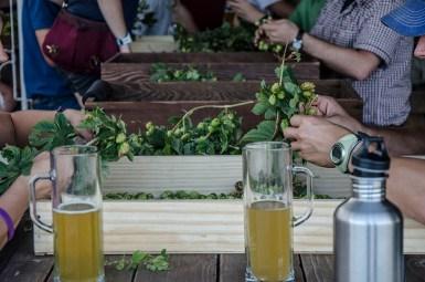 agrarian-hop-harvest-7-katie-mcguigan