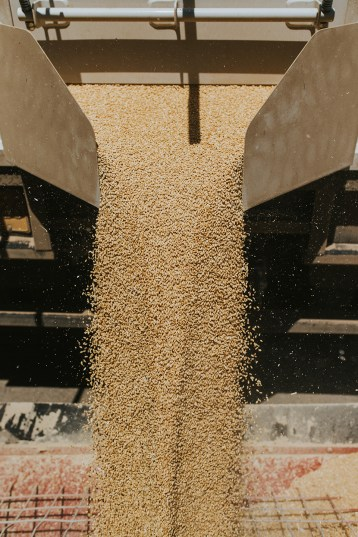 Grain being emptied out at the duling farm.