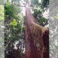 L'Essingang, arbre symbolique pour le peuple Ekang (Fang-Beti)