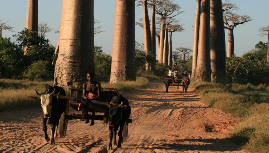 DZALEU.COM : African Lifestyle Magazine - Madagascar mise sur le tourisme : (les Baobabs géants, une de ses richesses touristiques)