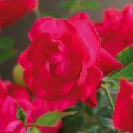 roza_3