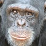Chimpanser i retsag