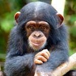Dansk biolog kæmper for chimpanser midt i Ebola udbrud