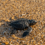 Fake skildpaddeæg sladrer om æg-tyve