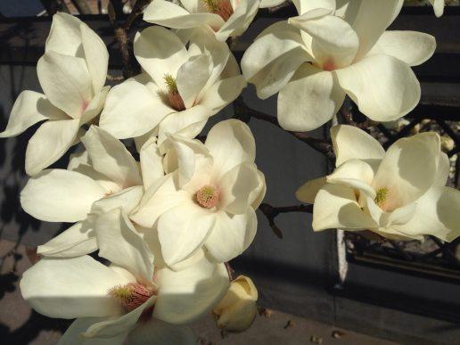 自宅の木蓮が満開になりました