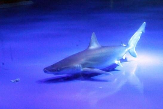 メジロザメ - 東京湾 サメコレクション(八景島シーパラダイス)