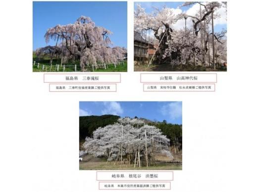 日本三大桜