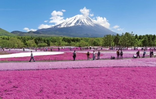 2016富士芝桜まつり