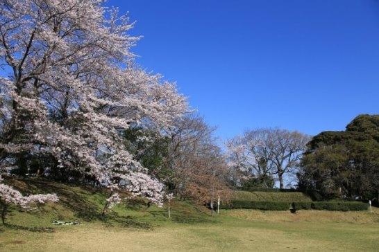 佐倉城址公園の本丸跡を彩る桜