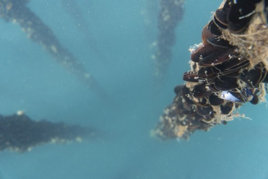 海中のムール貝 Photo_Darcy Turenne