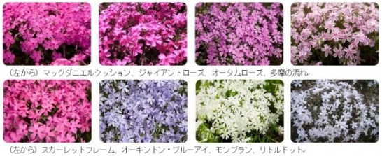富士芝桜まつりで鑑賞できる芝桜