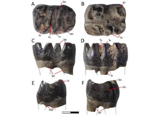 図2. Magallanodon baikashkenkeの第一臼歯状歯(標本番号MPM21572). 咬合面観(a), 歯根面観(b), 頬側面観 (c), 舌側面観 (d), 近心側面観 (e),遠心側面観(f)。スケールは2 mm。