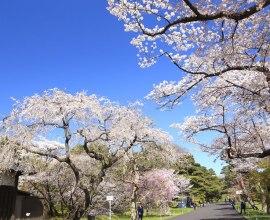 混雑していても1度は見たい! 皇居・乾通りの桜の公開は24日から!!