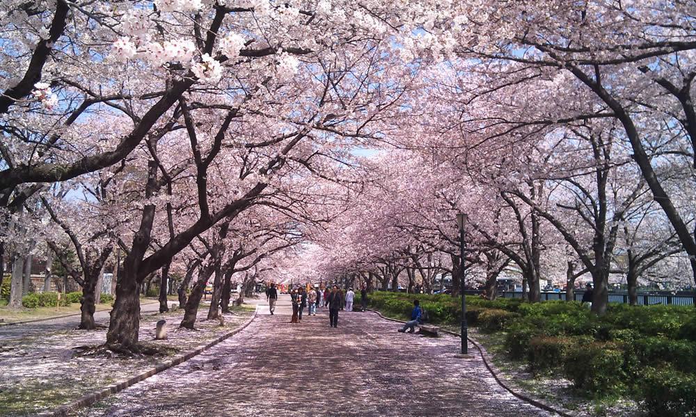 ソメイヨシノが終わっても、「大阪造幣局の桜の通り抜け」で桜を楽しめる!