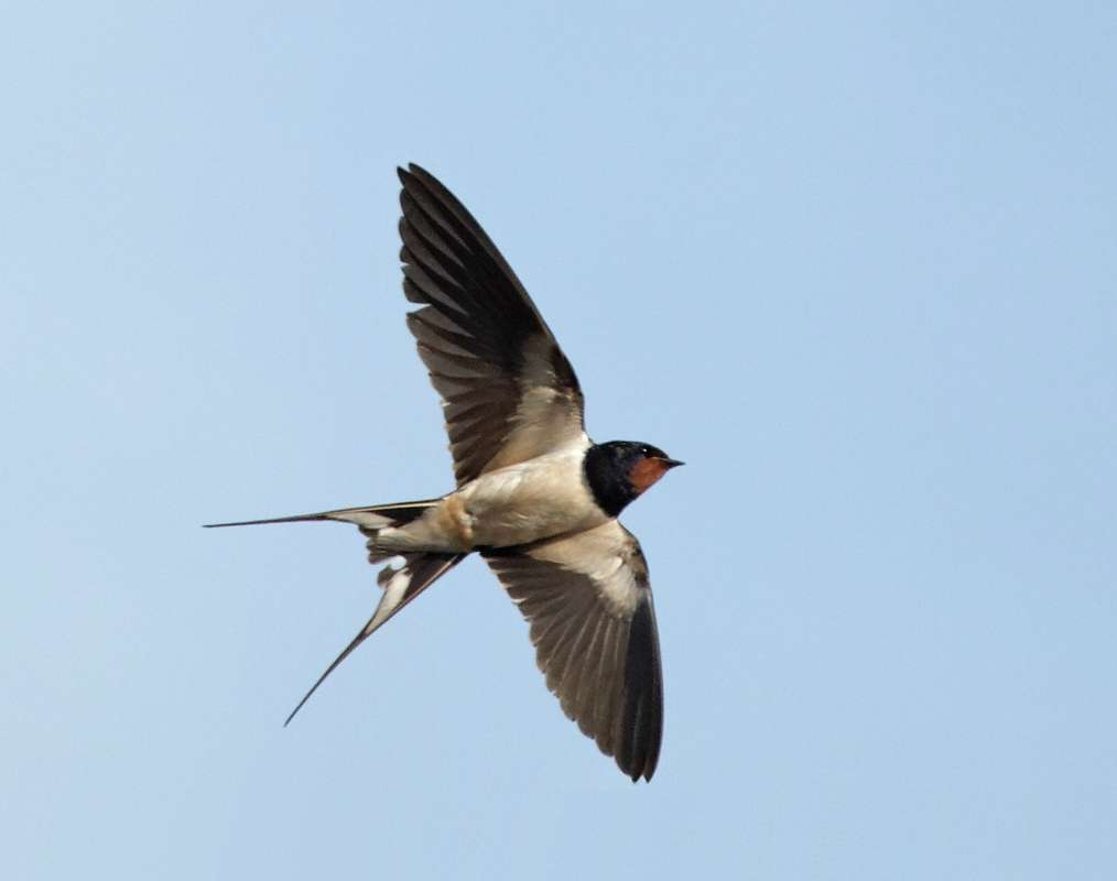Barn Swallow in flight - Olympus UK E-System User Group