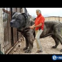 10-те най-огромни кучета пазач на планетата! Истински и диви зверове! (ВИДЕО)
