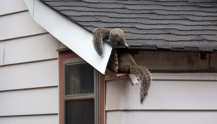 Two squirrels playing on a roof.