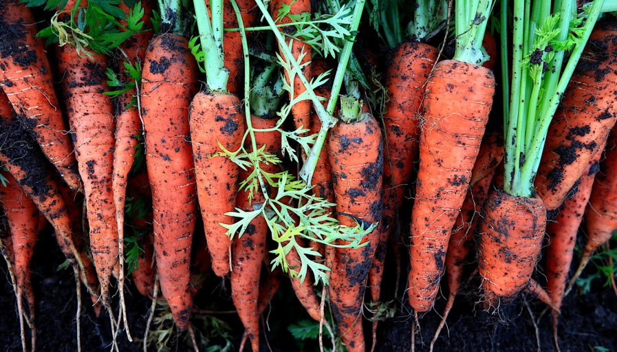 a pile of carrots freshly pulled from the ground