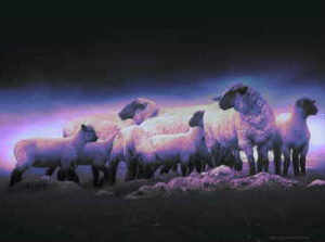 sheep-gloom-300x223
