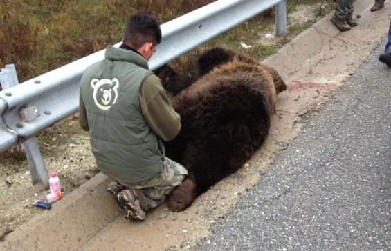 αρκούδα νεκρή