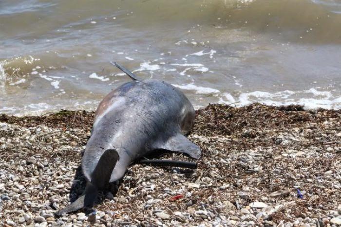Βρέθηκαν νεκρό δελφίνι και χελώνα σε παραλίες του Πηλίου