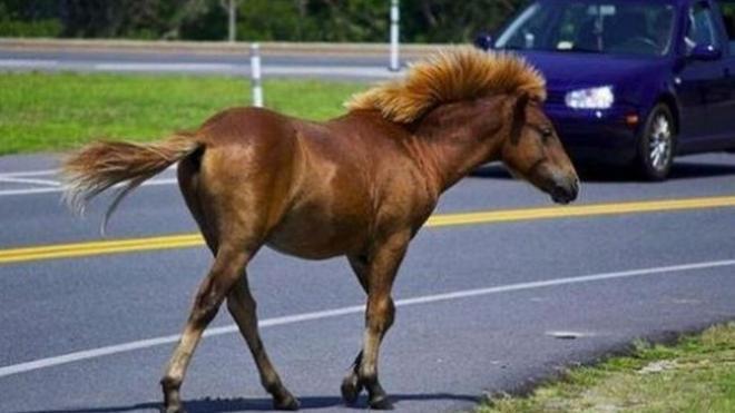 Αστυνομικοί κλήθηκαν να περισυλλέξουν αδέσποτα άλογα στο Πήλιο…
