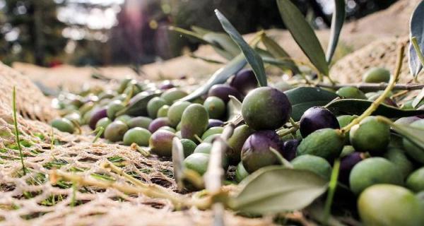 Αδασμολόγητο τυνησιακό ελαιόλαδο και αγρότες του Πηλίου