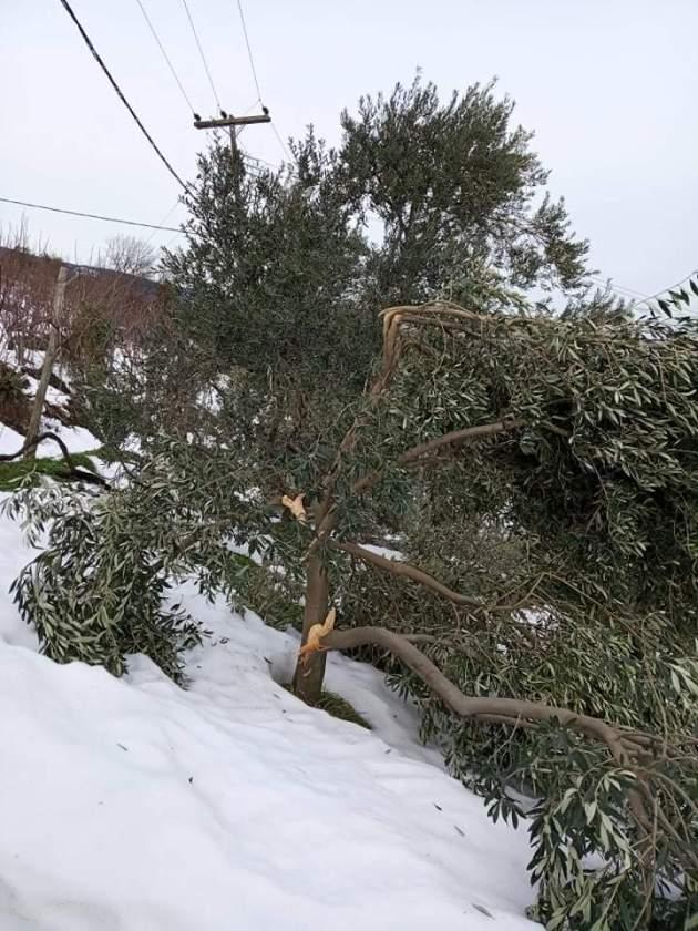 Αγροτικοί σύλλογοι Πηλίου: Μεγάλες ζημιές σε ελαιοπερίβολα από την έντονη χιονόπτωση